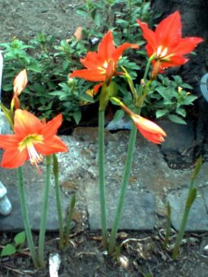 Unduh 860 Gambar Foto Bunga Bakung HD Gratid