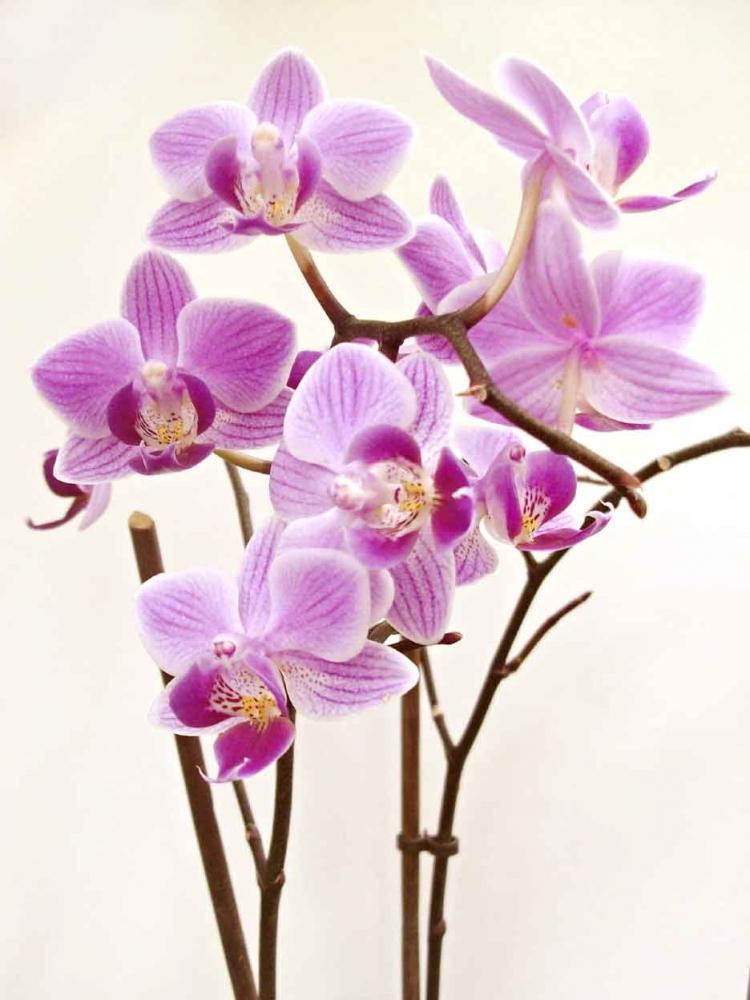 Menakjubkan 28 Background Bunga Anggrek Hitam Koleksi Bunga HD