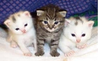 Unduh 64+  Gambar Kucing Anggora Masih Kecil Paling Bagus HD