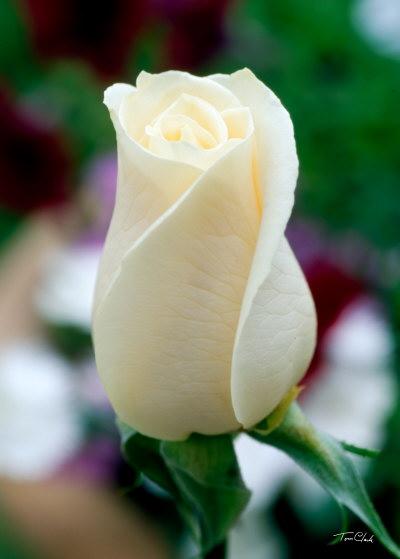 100+ Gambar Bunga Mawar Yang Belum Mekar Terlihat Keren