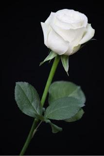 Mawar Putih Yang Terluka Kompasiana Com