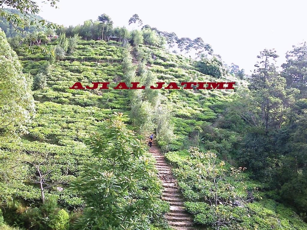Gambar Kebun Teh Jamus Ngawi Piramida Jamus Kekhasan Perkebunan Teh Di Kaki Gunung Lawu Halaman All Kompasiana Com