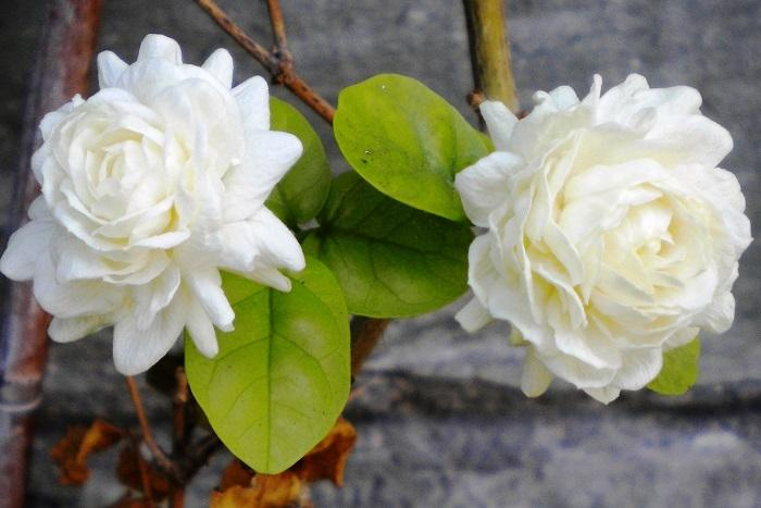 Mengenal Bunga Nasional Berbagai Negara Di Dunia Oleh Tjiptadinata