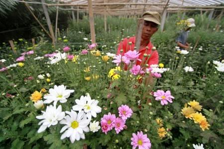 Indahnya Bunga Krisan Di Jogja Ku Kompasiana Com